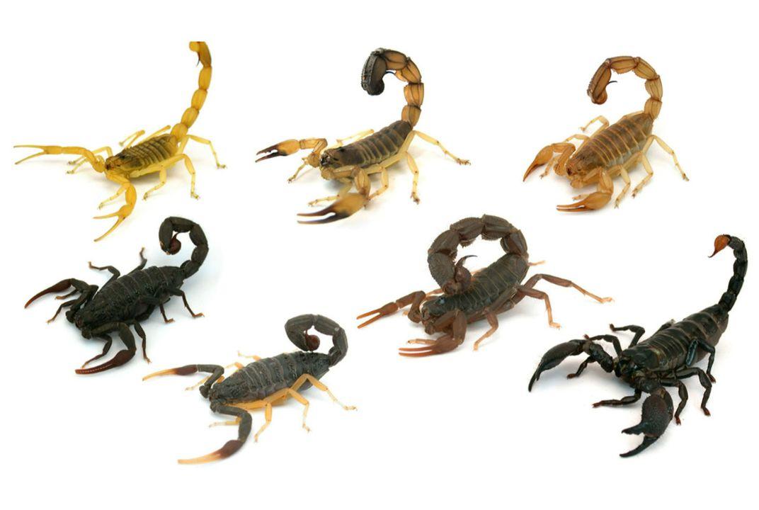 akrep türleri neler, akrep türleri, kaç tür akrep var