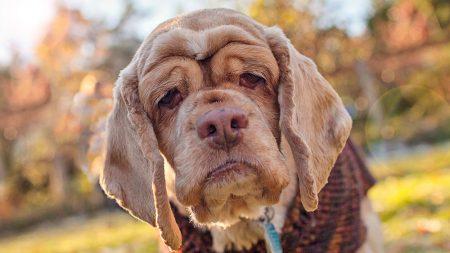 yaşlı köpek bakımı, yaşlı köpekler için ipuçları, yaşlı köpekler için konforlu hayat